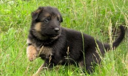 German shepherd dog_